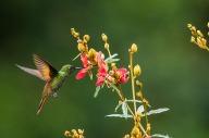 Beija-flor-rubi (Clytolaema rubricauda)