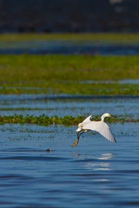 Garça-branca-pequena (Egretta thula) - Snowy Egret