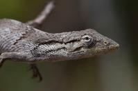 Calango Cego (Polychrus acutirostris)