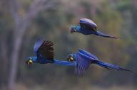 Arara Azul Grande (Anodorhynchus hyacinthinus) - Hyacinth Macaw