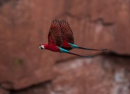 Arara-Vermelha (Ara chloropterus) - Red-and-green Macaw
