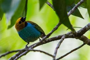 Saíra-douradinha (Tangara cyanoventris) - Gilt-edged Tanager — em Serrinha Do Alambari.