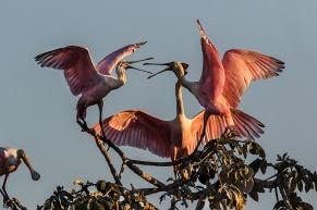 Colhereiro (Platalea ajaja) - Roseate Spoonbill Estrada Parque - Pantanal da Nhecolândia, MS. — em Estrada Parque Do Pantanal.