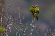 Periquito-rei (Eupsittula aurea) - Peach-fronted Parakeet