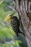 Pica-pau-de-cabeça-amarela (Celeus flavescens) - Blond-crested Woodpecker