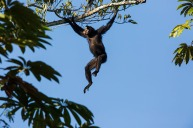 Macaco-aranha-de-cara-branca (Ateles marginatus)