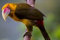 Araçari-banana (Pteroglossus bailloni) - Saffron Toucanet