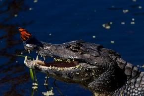 Jacaré do Pantanal (Caiman yacare)