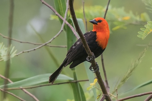 Cardeal-do-banhado (Amblyramphus holosericeus) - Scarlet-headed Blackbird