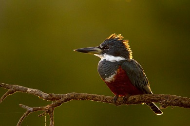 Martim Pescador Grande (Megaceryle torquata) - Ringed Kingfisher