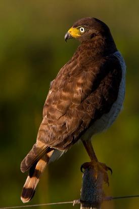 Gavião Carijó (Rupornis magnirostris) - Roadside Hawk — em Estação Ecológica do Taim - RS.