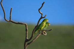 Periquitão-maracanã (Psittacara leucophthalmus) - White-eyed Parakeet — em Parque Nacional da Serra da Canastra.