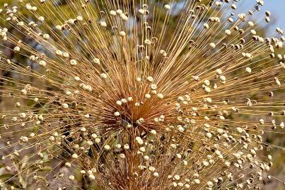 Sempre Viva (Helichrysum bracteatum)
