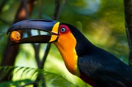 Tucano-de-bico-preto (Ramphastos vitellinus) - Channel-billed Toucan